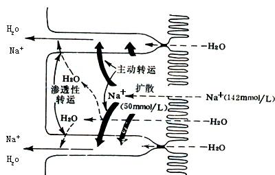 小肠粘膜对钠和水的吸收