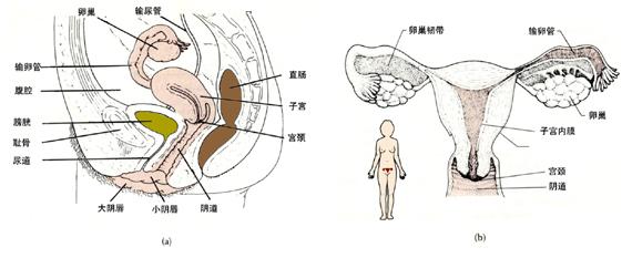 在高等动物,生殖是通过两性生殖器官的活动实现的